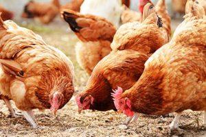 farming poultry ogun